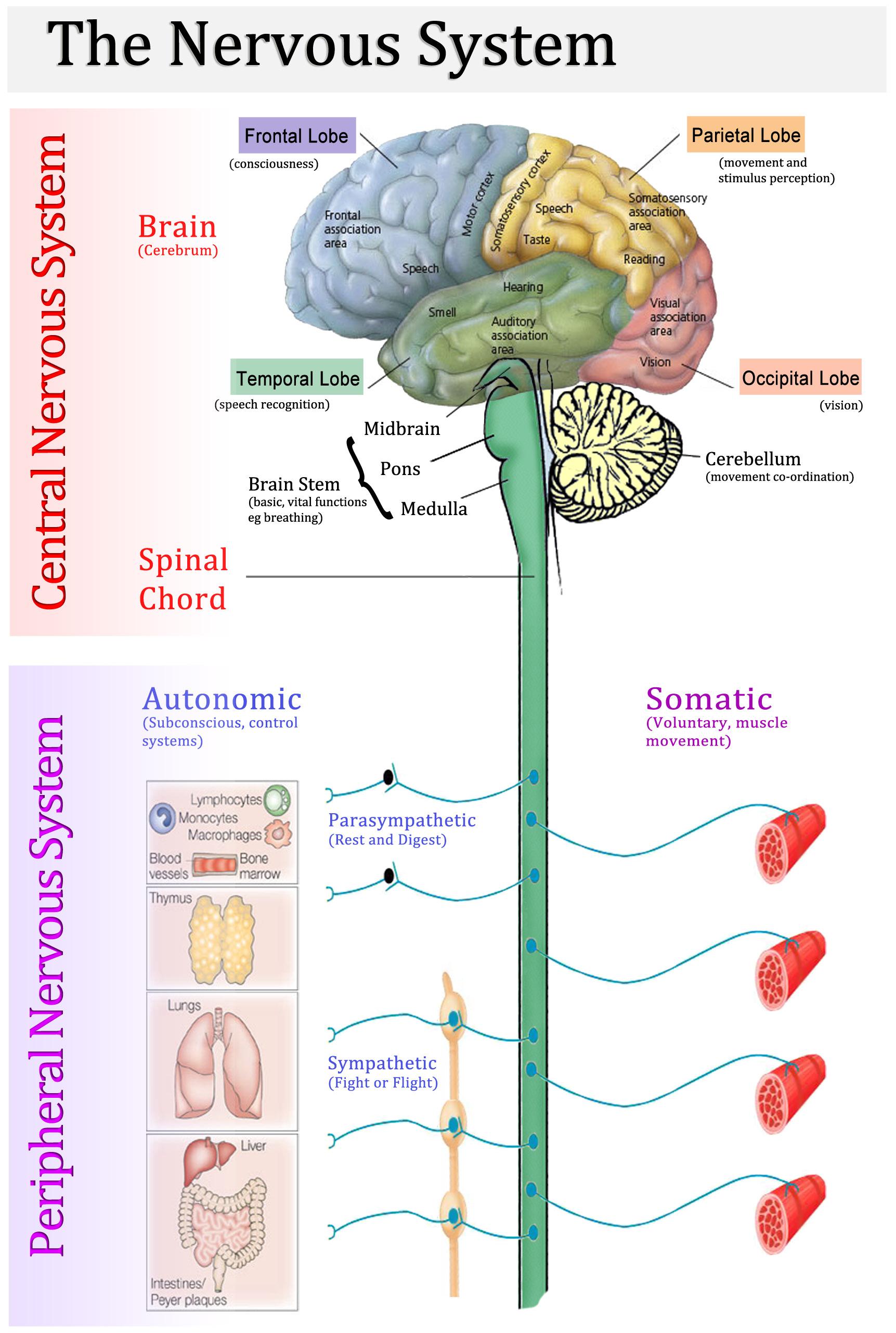 The Sympathetic and Parasympathetic Nervous Systems   Video   Lesson  Transcript   Study com