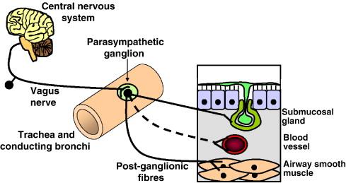 bronchi-parasympathetic-chiropractic