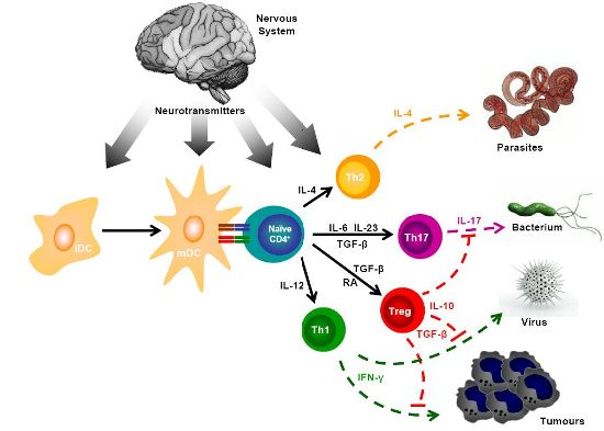 neuroimmune neurotransmitters dendritic cells